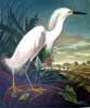 Snowy Egret – Plate Reference #242